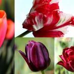 On se cultive : la tulipe !