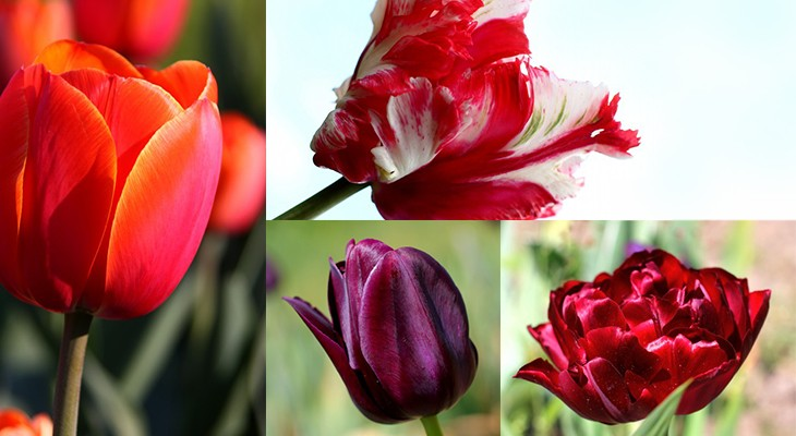 tulipes-monsieur-fleurs