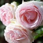 On se cultive : la rose !