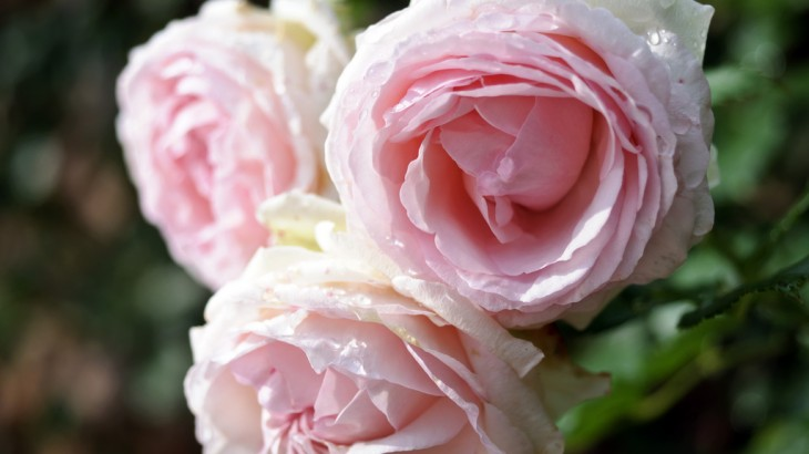 rose-pierre-de-ronsard-monsieur-fleurs