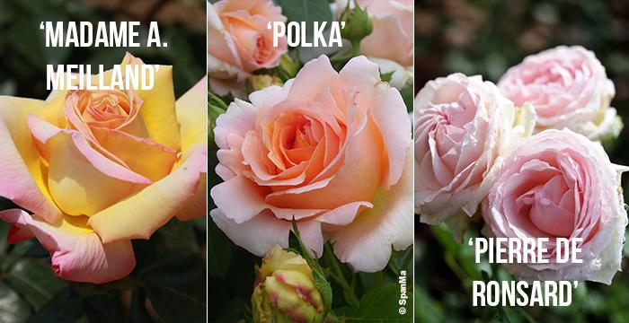 roses-modernes-monsieur-fleurs