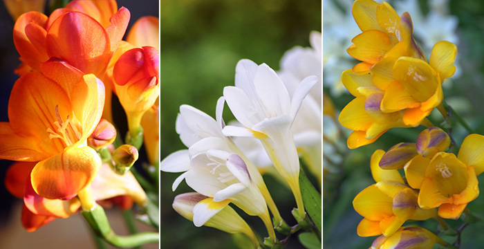 freesia-monsieur-fleurs