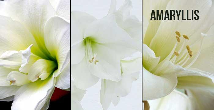 Les bouquets d 39 hiver monsieur fleurs le blog for Amaryllis ne fleurit pas