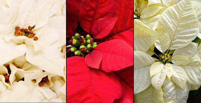roses-de-noel-poinsettia-monsieur-fleurs